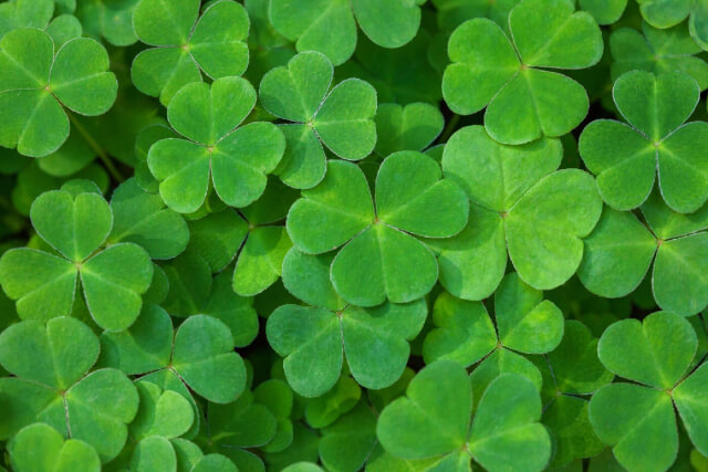 irish three leaf clover
